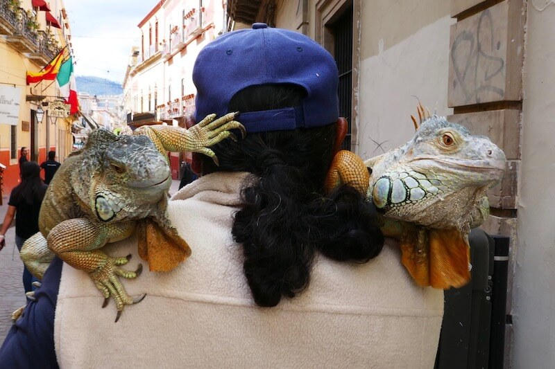 Guanajuato has Iguanas and a snake! – by Jaxon